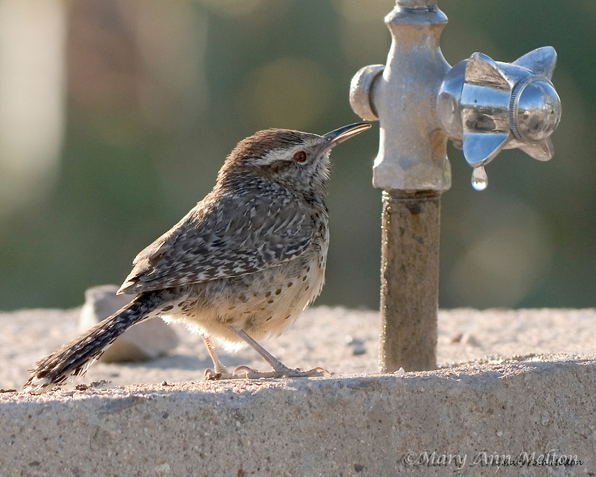 Gilbert Ray Campground, Tucson Mountain Park, Tucson, Arizona.The cactus wren (Campylorhynchus brunneicapillus) is drawn to this human fountain in search of the desert's most precious resource, water.