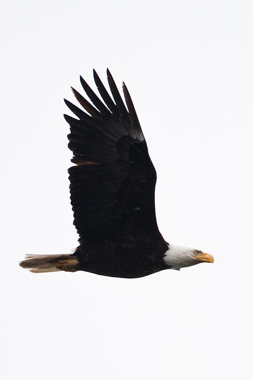 Bald Eagle, Ediz Hook, Port Angeles, Washington.