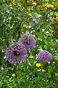 Allium 'Purple Sensation' and white Honesty, Great Dixter, late May.