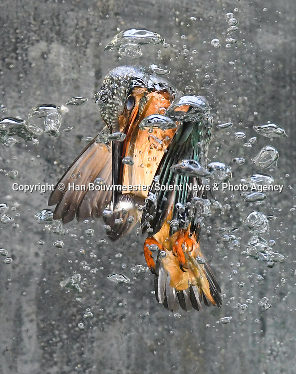 Incredible photos capture the underwater moment a kingfisher dives to catch a fish.  Air bubbles caused by the bird as it dives under the surface are shown in breathtaking detail.<br /> <br /> Photographer Han Bouwmeester took the stunning photos from his garden in the village of Goor, in the Netherlands, where he has an aquarium that the animal visits for a snack.  SEE OUR COPY FOR DETAILS.<br /> <br /> Please byline: Han Bouwmeester/Solent News<br /> <br /> © Han Bouwmeester/Solent News & Photo Agency<br /> UK +44 (0) 2380 458800
