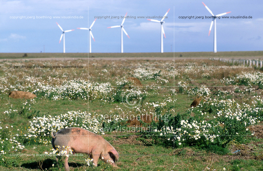 Europa Deutschland DEU Schleswig-Holstein, Bioschwein auf Bioland Hof und und AN-Bonus Windraeder Windkraftwerk auf Eco Island Pellworm ,  AN-Bonus gehoert heute zur Siemens Gruppe / Europe Germany Northsea eco island Pellworm, organic Bioland farm with pig and AN Bonus windturbine - environment climate climate change save power windenergy renewables renewable windmill windpower wind turbine
