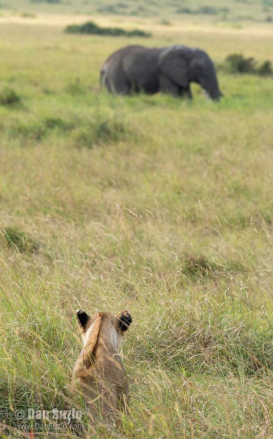 A female Lion, Panthera leo  melanochaita, watches an African Elephant, Loxodonta africana, in the Trans Mara area west of Maasai Mara National Reserve, Kenya