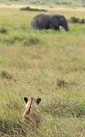 A female Lion, Panthera leo  melanochaita, watches an African Elephant, Loxodonta africana, in the Trans Mara area west of Maasai Mara National Reserve, Kenya