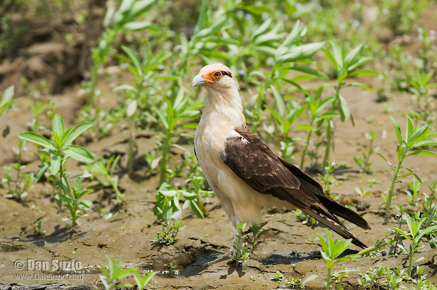 Yellow-headed caracara, Milvago chimachima. Tarcoles River, Costa Rica
