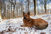 Haushund, im Winter im Schnee, Hund, Harzer Fuchs - Mischling, dog, Canis lupus familiaris
