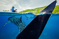 A whale shark, Rhincodon typus, swims underneath a researcher in a small boat in the Bohol Sea, Philippines