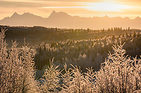 Low sun illuminates hoarfrost on spruce, poplar, and birch trees in Fairbanks, Alaska in a photo taken at midday near the winter solstice.