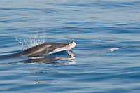 Rough-toothed Dolphins, Steno bredanensis, surfacing. The submerged animal has part of a Dorado, mahi mahi or dolphinfish, Coryphaena hippurus, in it's mouth, Costa Rica, Pacific Ocean This species of Dolphin is known to prey on large fish such as Dorado.