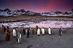 King Penguins, South Georgia Island, UK