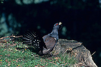 Capercaillie, Tetrao urogallus,male displaying, Schwyz, Switzerland, April 1998