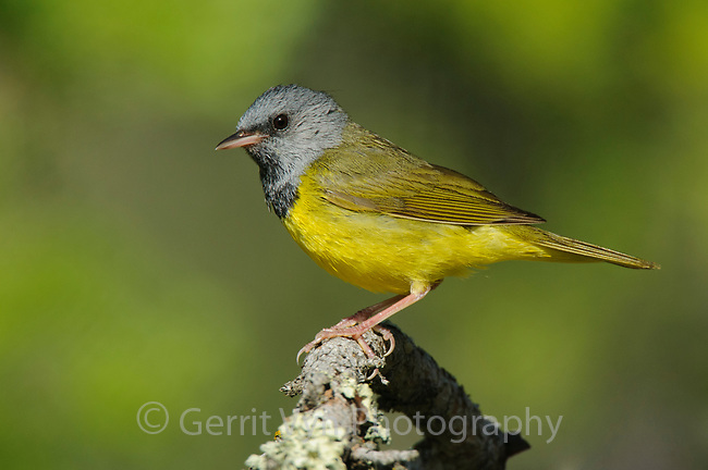 Adult male Mourning Warbler (Oporornis philadelphia) in breeding plumage. Alberta, Canada. June.