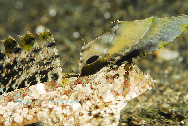 Dragonet-Orange & Black , Dactylopus kuiteri, Lembeh Straits; Sulawesi Sea; Indonesia; Amazing Underwater Photography