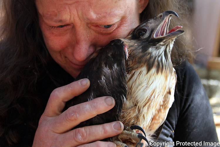 Lindy O'Leary cries over her red-tailed hawk named Kuar in March, 2012, one of several wild birds that she has been ordered to turn over to the state Fish and Game Department from her Escondido, California home.  photo for North County Times