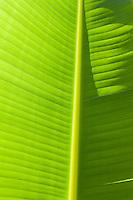 Backlit banana leaf, Akumal, Mexico