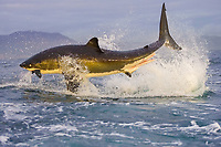 great white shark, Carcharodon carcharias, breaching on seal decoy, Seal Island, False Bay, South Africa