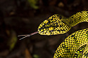 Sumatran Pitviper (Trimeresurus sumatranus), smelling the air by flicking its forked tongue. The forked tip of the tongue allows the snake to smell in 'stereo', allowing it to determine the direction a scent is coming from. Danum Valley, Sabah, Borneo. June.