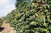 Rio de Janeiro State, Brazil. Coffee bushes on a plantation.