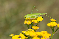 Gemeine Sichelschrecke, Weibchen, Phaneroptera falcata, Sickle-bearing Bush-cricket, Sickle-bearing Bush cricket, female, Phanéroptère commun, Sichelschrecken, Phaneropterinae
