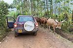 Cattle In Road