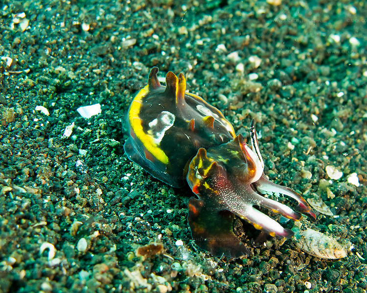 We came across a number of flamboyant cuttlefish in the sand along the bottom of the Lembeh Strait.  The flamboyant cuttlefish (&quot;Pfeffer's Flamboyant Cuttlefish,&quot; <em>Metasepia pfefferi</em>) is so named for the bright coloration it may adopt when approached.  This is a very small beastie; the ones we saw were between two and four inches (say, about 5 to 10 cm) long, including tentacles.  Normally its coloration is very drab -- dull shades of brown, looking like a rock on the sandy bottom where it lives, &quot;walking&quot; around the bottom using its lower arms (tentacles).  But it adopts bright, almost pulsating shades of red, purple, and pink with that distinctive yellow border when disturbed (for instance, by a hulking diver shoving a large camera lens into its &quot;face&quot;).  Like most creatures that may adopt vibrant coloration when disturbed, the bright color is a warning; the flesh of the flamboyant cuttlefish is highly toxic.