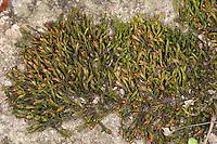 Verstecktkapseliges Spalthütchen, Dickhaar-Spalthütchen, Verstecktfrüchtiges Spalthütchen, wächst auf Steinmauer, Schistidium apocarpum agg., schistidium moss