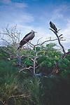 Galapagos Islands, Ecuador, Magnificent Frigatebird, Fregata magnificens,.