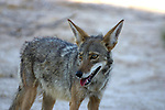 The coyote, also known as the American jackal or the prairie wolf, is a species of canine found throughout North and Central America, ranging from Panama in the south, north through Mexico, the United States and Canada.