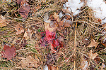 Blood trail from a white-tailed deer