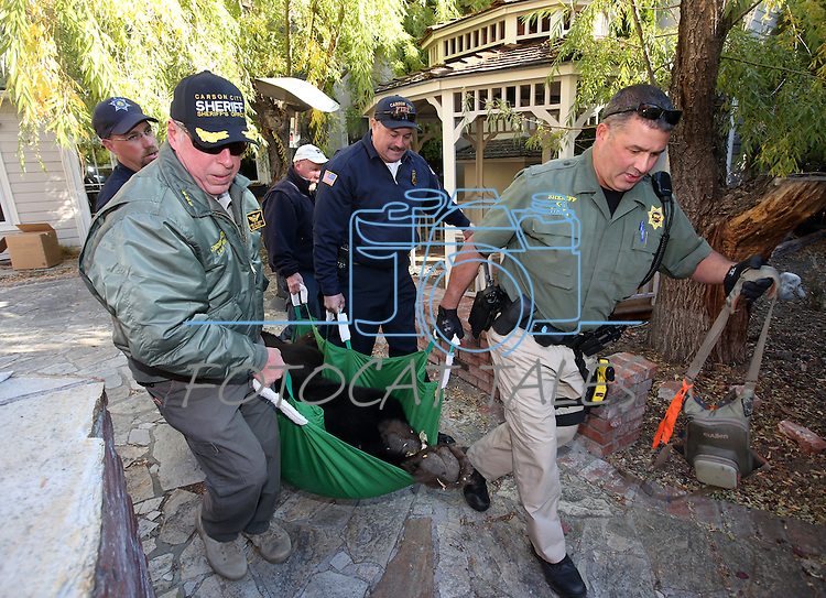 """Officials carry an approximately 400-pound adult male bear out of a Carson City backyard  Wednesday, Oct. 23, 2013. Nevada Wildlife game wardens and biologists tranquilize the bears, tag them and collect blood and hair samples before releasing using """"aversive conditioning.""""<br /> (Cathleen Allison/Las Vegas Review-Journal)"""