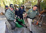 "Officials carry an approximately 400-pound adult male bear out of a Carson City backyard  Wednesday, Oct. 23, 2013. Nevada Wildlife game wardens and biologists tranquilize the bears, tag them and collect blood and hair samples before releasing using ""aversive conditioning.""<br /> (Cathleen Allison/Las Vegas Review-Journal)"