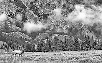Autumn is a great time to photograph elk in the Grand Tetons.<br /> <br /> This image is also available in color.
