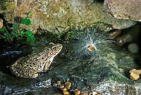Leopard frog in small garden stream looks at milkweed seed
