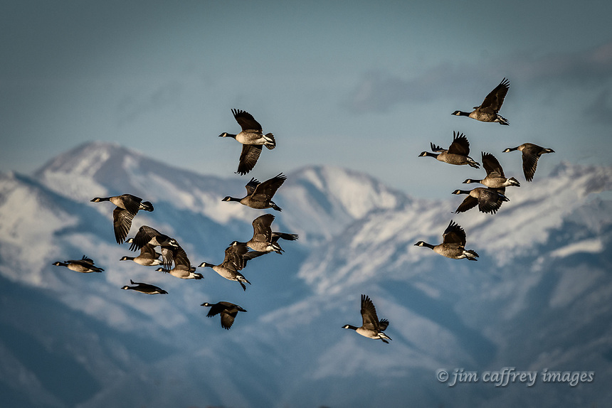 A flock of Canada Geese pass in front of the Sangro de Cristo Mountains as they fly from the Monte Vista National Wildlife Refuge in Colorado's San Luis Valley.