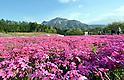 Moss Phloxes at Hitsujiyama Park, Chichibu