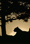 Cougar sits under a tree, in silhouette, at sunset