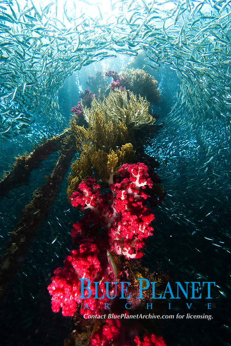 Soft coral encrusted jetty pylon, with a huge school of fish encircling it. Aboratek Island, Raja Ampat, West Papua, Indonesia, Pacific Ocean