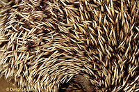 MA42-025z   African Pygmy Hedgehog - close up of quills - Erinaceus albiventris