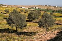 Near Tarhouna, Libya - Rural Scene, Young Olive Trees, Houses, Wild Flowers