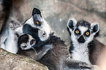 ring-tailed lemur female with one month old baby cuddling