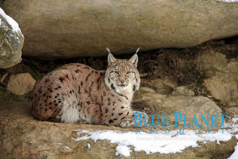 Eurasian Lynx (Lynx lynx carpathicus), adult, lying amongst rocks in snow, Bavarian Forest National Park, Bavaria, Germany, Europe
