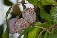 Fruchtfäule, Frucht-Fäule, Pilz an Pflaume, Monilia-Fruchtfäule, Kernobstmonilia, Pilzkrankheit, Pilzkrankheiten, Monilia fructigena, Monilinia fructigena, Brown rot, Obst, Prunus domestica