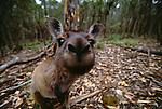Close-up of a curious Western grey kangaroo, brown phase, Australia