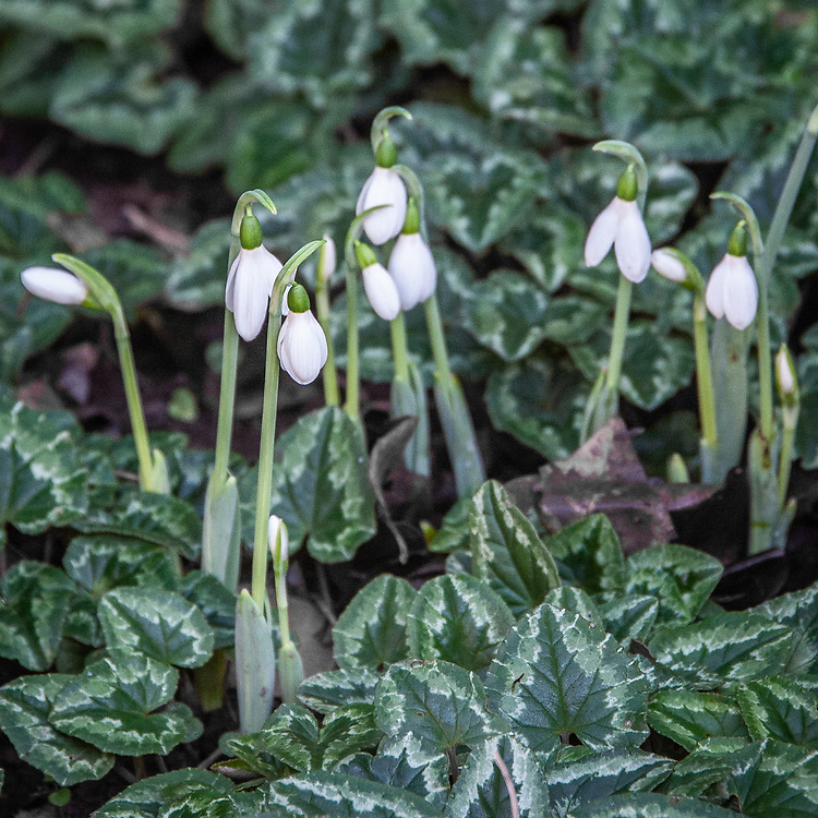 Autumn-flowering snowdrops, here pushing their way up through cyclamen leaves, in a corner of the Barn Garden at Great Dixter, late November.