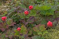Moltebeere, Molte-Beere, Frucht, Multebeere, Multbeere, Schellbeere, Torfbeere, Rubus chamaemorus, Cloudberry