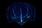 Ctenophore, Comb Jellyfish, Alien Like, Bolinopsis vitrea, Juvenile