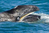 gray whale, Eschrichtius robustus, showing baleen, Gulf of California, Baja California, Mexico, Pacific Ocean