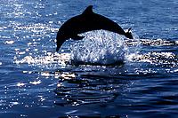 Atlantic spotted dolphin breaching, Stenella frontalis, Bahamas ( Atlantic Ocean )