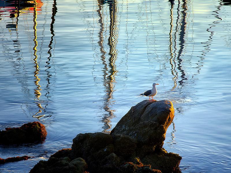 Reflected sailing masts and seagull at Monterey Harbor and Marina, California