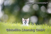 REALISTIC ANIMALS, REALISTISCHE TIERE, ANIMALES REALISTICOS, cats, paintings+++++,USLGSC162044527,#A#, EVERYDAY ,photos,fotos,pounce,cat,cats,kitten,kittens,Seth