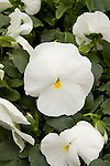 VIOLA WITTROCKIANA 'MAMMOTH WHITE HOT', PANSY.